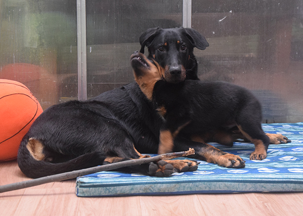 6 Wochen alter Beauceron mit Mutter
